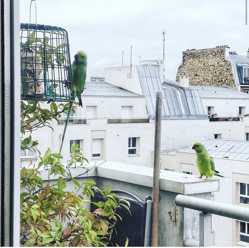 Drôles d'oiseaux : des perruches à collier aperçues dans le 20e