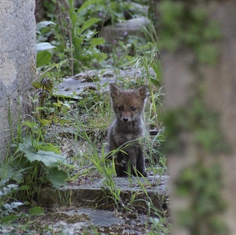 La photo la mignonne de l'année dans le 20e : le renardeau du Père Lachaise